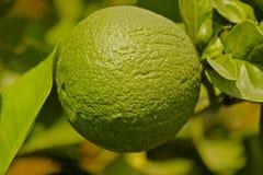 Green lemon on branch Stock Photo