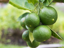 Green lemon on the branch Stock Photo