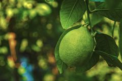 Green lemon on a branch in the garden Fresh green lemon hanging on branches with leaves on a tree. royalty free stock images