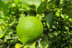Green lemon. Citric fruits on the tree grow in the wild or in the garden, farm Royalty Free Stock Photography