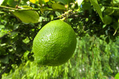 Green lemon. Green citric fruits on the tree grow in the wild or in the garden, lemon farm Royalty Free Stock Photo