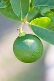 Green Lemon. Stock Photography
