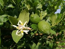 Green lemon with flower. Green lemon stay beside their flowers Royalty Free Stock Image