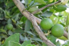 Green lemon, fruit. Stock Image