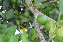 Green lemon, fruit. Royalty Free Stock Image