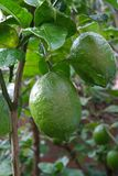 A green lemon fruit ripening in a tree in a citrus farm. royalty free stock photos