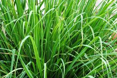 Green lemon grass Royalty Free Stock Photos