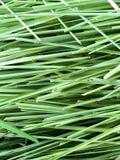 Green lemon grass leaves. Close up green lemon grass leaves royalty free stock photos