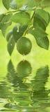Green lemon hanging Royalty Free Stock Photo