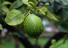 Green lemon. Hanging on a tree Stock Photo