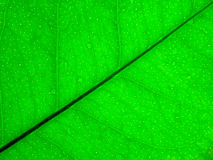 Green lemon leaf background Royalty Free Stock Photography