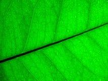 Green lemon leaf background Stock Photography