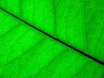 Green lemon leaf background Stock Photos