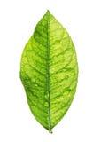 Green lemon leaf, macro - isolated on white background Royalty Free Stock Photo