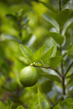 Green lemon and leaf Royalty Free Stock Image