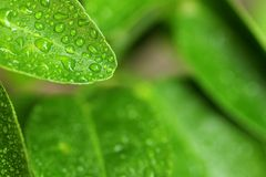 Green lemon leaf water drop Stock Photos