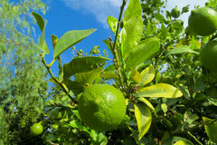 Green lemon among leaves on tree Stock Photos