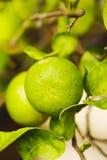 Green Lemon on the lemon tree in the garden Stock Images