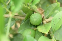 Green lemon on lemon tree green in farm background sour fruit and vegetable royalty free stock photography