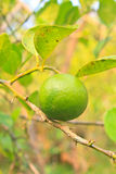 Green lemon on the lemon tree in organic farm Royalty Free Stock Photo