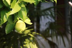 Lemon, lime, in the tree. Green Lemon, lime, fresh fruit in the tree with leaf royalty free stock image