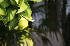 Lemon, lime, in the tree. Green Lemon, lime, fresh fruit in the tree with leaf stock photos