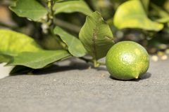 Green Lemon from Sicily Italy. Green  sicilian lemon leaning on a wall Stock Photography
