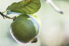 A green lemon on thr tree Stock Photos