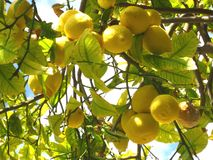 Green lemon tree Stock Image