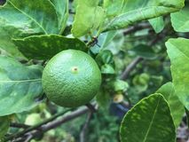 Green Lemon on the tree royalty free stock image