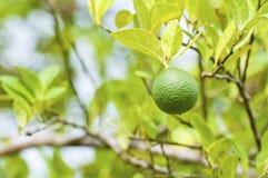 Green lemon on tree. Green lemon on the tree in the garden Stock Photo