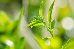 Green lemon tree Stock Photos