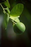 Green lemon Royalty Free Stock Photo