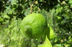 Green lemon on the tree Stock Photos