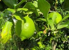 Green lemon on the tree stock photography