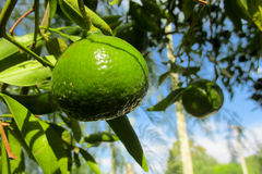Green lemon on the tree royalty free stock images