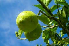 Green lemon on the tree Royalty Free Stock Photos