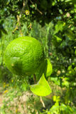 Green lemon on the tree Stock Image