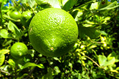 Green lemon on the tree. Green lemon citric fruits on the tree grow in the wild or in the garden, farm Stock Images
