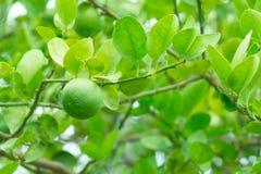 Green lemon on tree Stock Photography