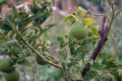 Green lemon tree garden. Biologic stock image