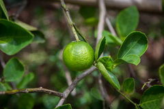 Green lemon Stock Photography