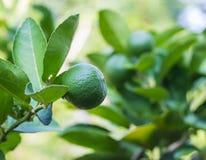 Green lemon on tree Stock Images