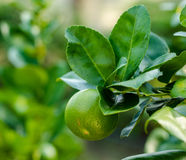 The  green lemon. The green lemon on the lemon tree in organic farm in Thailand Stock Photography