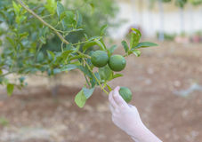 Green lemon tree Royalty Free Stock Photography