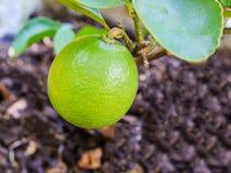 Green lemon on tree Royalty Free Stock Image