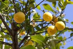 Green lemon tree with yellow lemons Stock Images