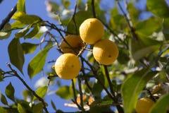 Green lemon tree with yellow lemons Stock Image