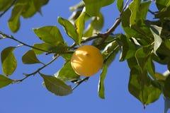 Green lemon tree with yellow lemons Stock Photos