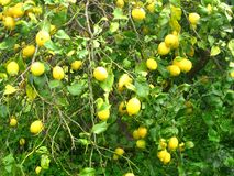 Green lemon trees Stock Photos